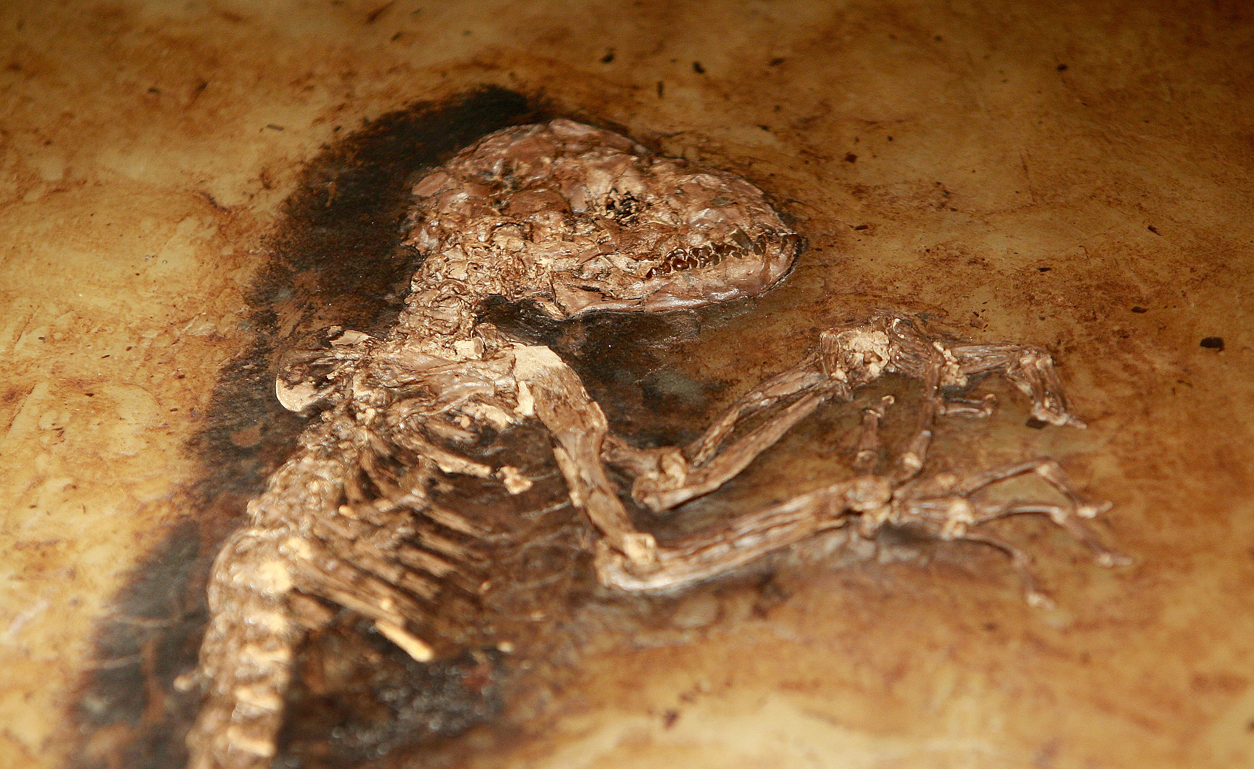 Scientists Debut A 47 Million-Year-Old Monkey Fossil